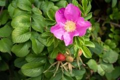roza-cukrowa-kwiat-owoce